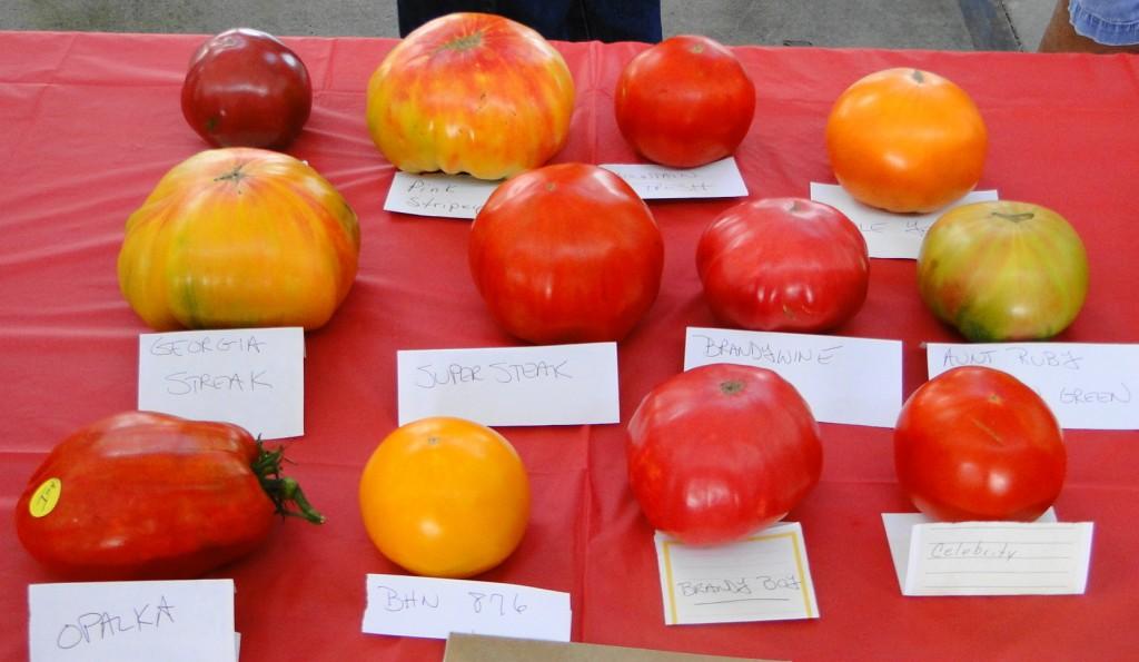 Prettiest Tomato contestants   Tomato Fest XI   Aug 8 2015   mmv